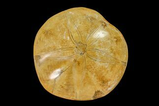 "Buy 3.2"" Polished Fossil Sand Dollar (Mepygurus) - Jurassic - #158083"