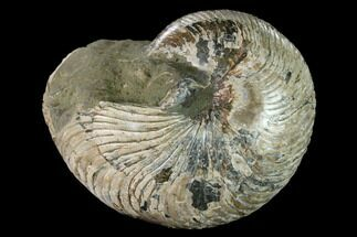 "6.7"" Polished Fossil Nautilus (Cymatoceras) - Madagascar For Sale, #157823"