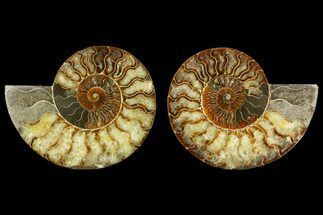 Cleoniceras - Fossils For Sale - #158310
