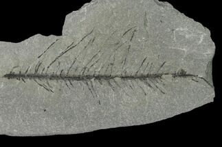 Sphenophyllum myriophyllum? - Fossils For Sale - #158715