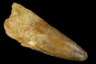"Buy Large, 2.45"" Cretaceous Fossil Crocodile Tooth - Morocco - #159142"