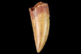 "Serrated, .93"" Raptor Tooth - Real Dinosaur Tooth For Sale, #159008"