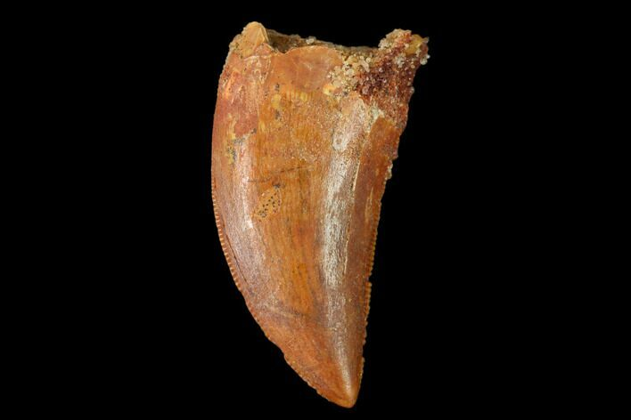 "Serrated, 1.18"" Carcharodontosaurus Tooth - Morocco"