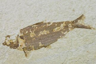 "5"" Fossil Fish (Knightia) - Wyoming For Sale, #159536"