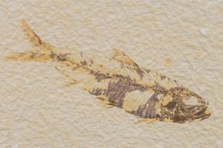 "Buy 3.1"" Fossil Fish (Knightia) - Wyoming - #159550"