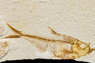 "Bargain, 4.5"" Fossil Fish (Diplomystus) - Wyoming For Sale, #159554"