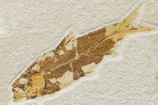 "Buy 3.9"" Fossil Fish (Knightia) - Wyoming - #159562"