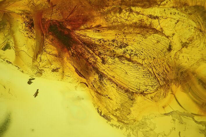 Detailed Fossil Winged Termite (Isoptera) In Baltic Amber