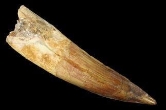 "Buy 3.35"" Spinosaurus Tooth - Real Dinosaur Tooth - #160003"