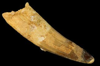 "Buy Bargain, 3.87"" Spinosaurus Tooth - Composite Tip - #160015"
