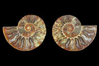 Cleoniceras - Fossils For Sale - #145923