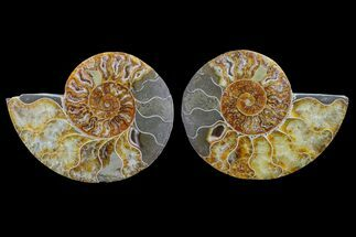 Cleoniceras - Fossils For Sale - #148017