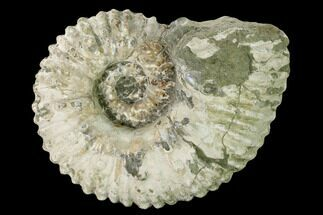 "Buy 6.4"" Bumpy Ammonite (Douvilleiceras) Fossil - Madagascar - #160402"