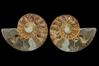 Cleoniceras - Fossils For Sale - #148041