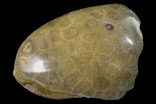 "Buy 5"" Polished Fossil Coral (Actinocyathus) Head - Morocco - #159286"