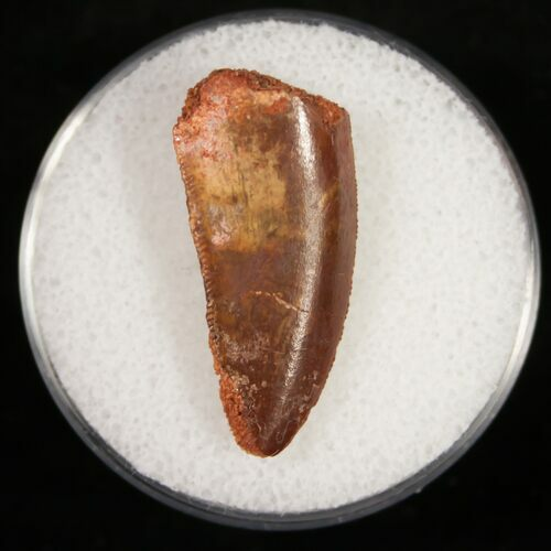 Serrated Raptor Tooth From Morocco - 1.03""
