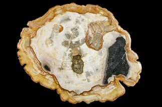 "11.2"" Petrified Wood (Tropical Hardwood) Round - Indonesia For Sale, #161000"