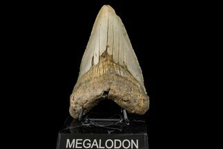 "Buy 5.19"" Fossil Megalodon Tooth - North Carolina - #158194"