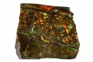"1.4"" Iridescent Ammolite (Fossil Ammonite Shell) - Alberta, Canada For Sale, #162428"
