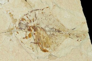 Diplomystus birdi - Fossils For Sale - #162750
