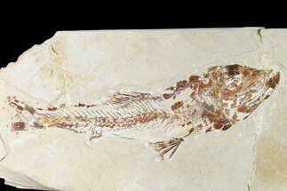 "10.5"" Rare Cretaceous Fossil Fish (Enchodus) - Hakel, Lebanon For Sale, #162779"