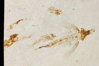"Buy 2"" Cretaceous Fossil Flying Fish (Exocoetoides) - Lebanon - #162772"