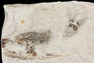 "Buy 3.2"" Cretaceous Fossil Squid with Ink Sac - Hakel, Lebanon - #163096"