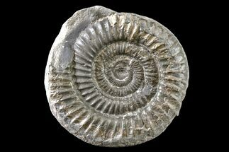 "Buy 2.5"" Ammonite (Dactylioceras) Fossil - England - #163018"
