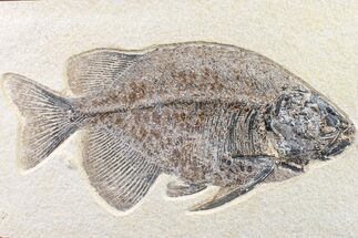 "Buy 9.8"" Fossil Fish (Phareodus) - Beautiful Specimen - #163414"