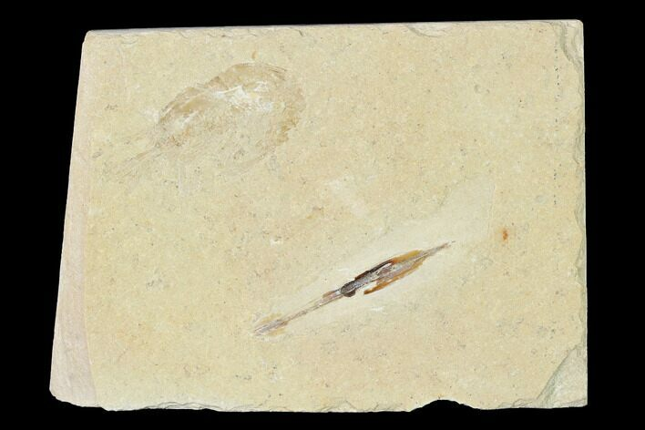 "1.2"" Cretaceous Soft Bodied Squid With Shrimp - Lebanon"