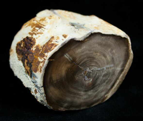 Petrified Wood Limb From Washington