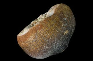 "Buy 1"" Crushing Mosasaur (Igdamanosaurus) Tooth - Morocco - #163627"