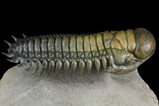 "3.1"" Crotalocephalina Trilobite - Atchana, Morocco For Sale, #163679"