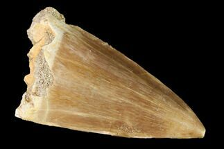 "Buy Large, 2.4"" Mosasaur (Prognathodon) Tooth - #163708"