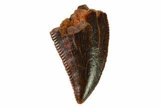 "Serrated, .42"" Raptor Tooth - Real Dinosaur Tooth For Sale, #163847"
