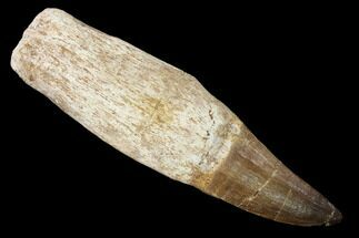 "Buy 4.7"" Fossil Rooted Mosasaur (Prognathodon) Tooth - Morocco - #163921"
