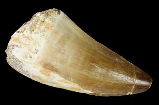 "2"" Fossil Mosasaur (Prognathodon) Tooth - Morocco For Sale, #164168"