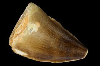 "Buy 1.45"" Fossil Mosasaur (Prognathodon) Tooth - Morocco - #164182"