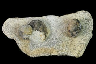 Two Ordovician Gastropods and a Trilobite (Onnia) Head - Morocco For Sale, #164099