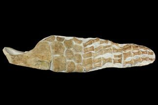"19.5"" Fossil Plesiosaur Paddle - Goulmima, Morocco For Sale, #164057"