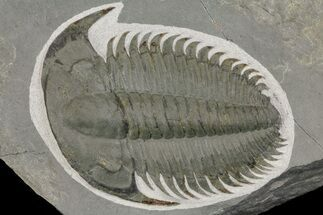 "1.65"" Lower Cambrian Trilobite (Longianda) - Issafen, Morocco For Sale, #164513"