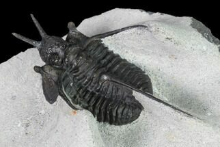 "1.55"" Devil Horned Cyphaspis Walteri Trilobite For Sale, #164507"