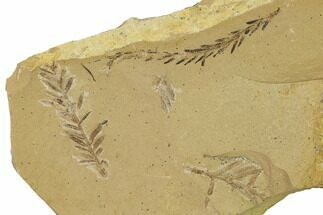 Dawn Redwood (Metasequoia) Fossils - Montana For Sale, #165248