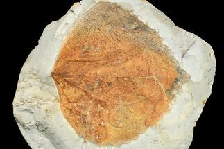 "3"" Paleocene Fossil Leaf (Zizyphoides) - Montana For Sale, #165035"