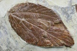 "4.2"" Detailed Fossil Leaf (Viburnum) - Montana For Sale, #165038"