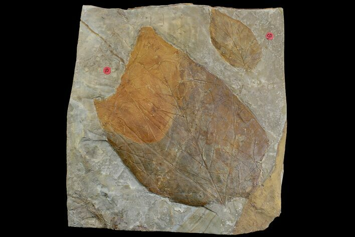 Two Fossil Leaves (Platanus) - Montana