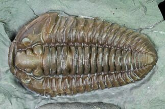 "Buy 1.38"" Flexicalymene Trilobite - Mt. Orab, Ohio - #165358"