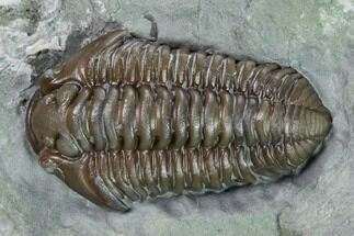 "Buy 1.1"" Flexicalymene Trilobite - Mt. Orab, Ohio - #165361"