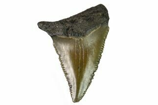 "Buy 1.2"" Serrated, Fossil Great White Shark Tooth - South Carolina - #164767"