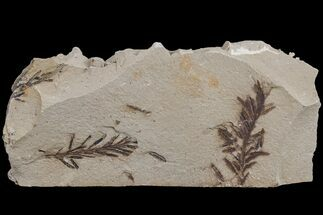 Buy Dawn Redwood (Metasequoia) Fossils - Montana - #165178